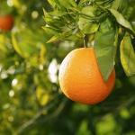 Апельсин (Citrus sinensis)*