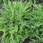 Можжевельник (Juniperus communis)*