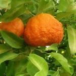 Померанец (горький апельсин, Citrus aurantium)